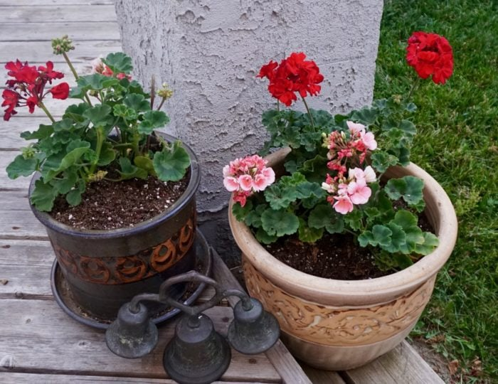 Potted Geraniums and Vintage Church Bell