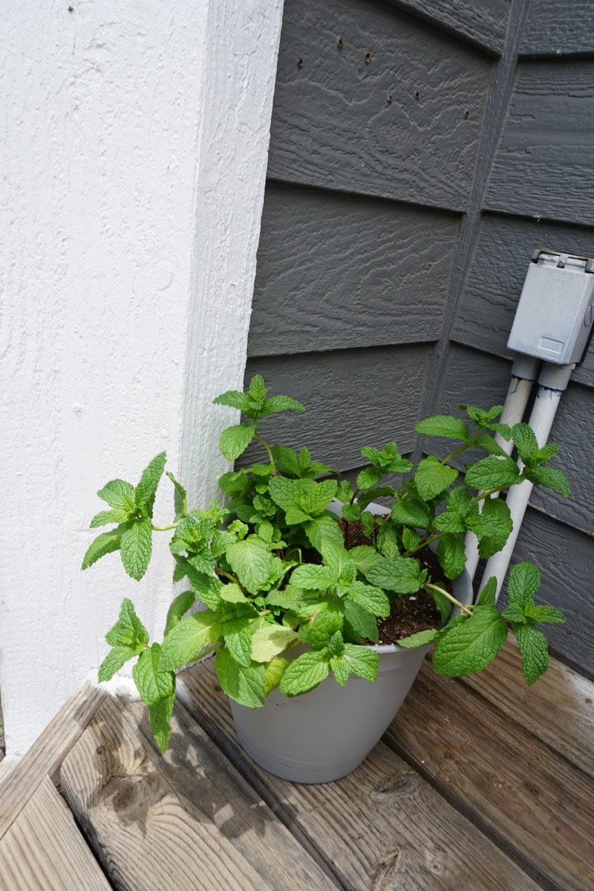 Patio Container of Mint for Summer Garden